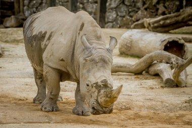 White rhino muzzle