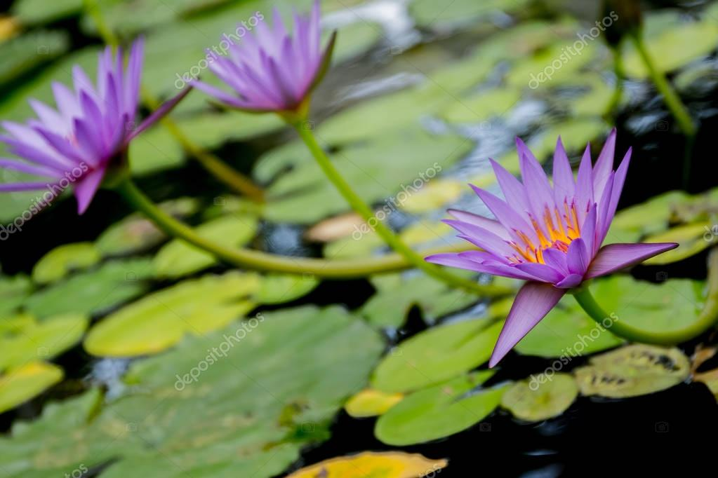 water lily, water flower
