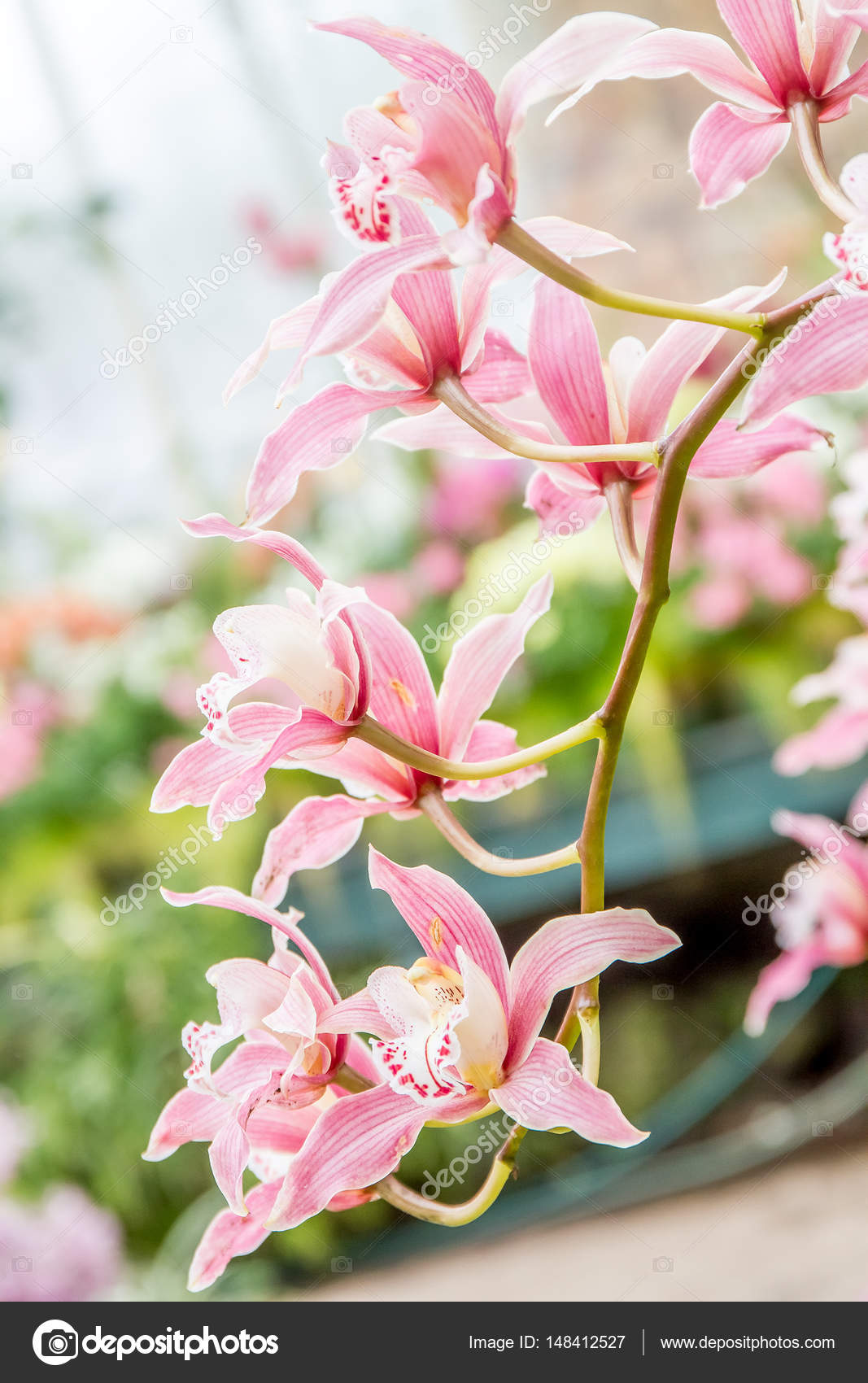 Beautiful orchid flowers stock photo volare2004 148412527 beautiful orchid flowers on natural background photo by volare2004 izmirmasajfo