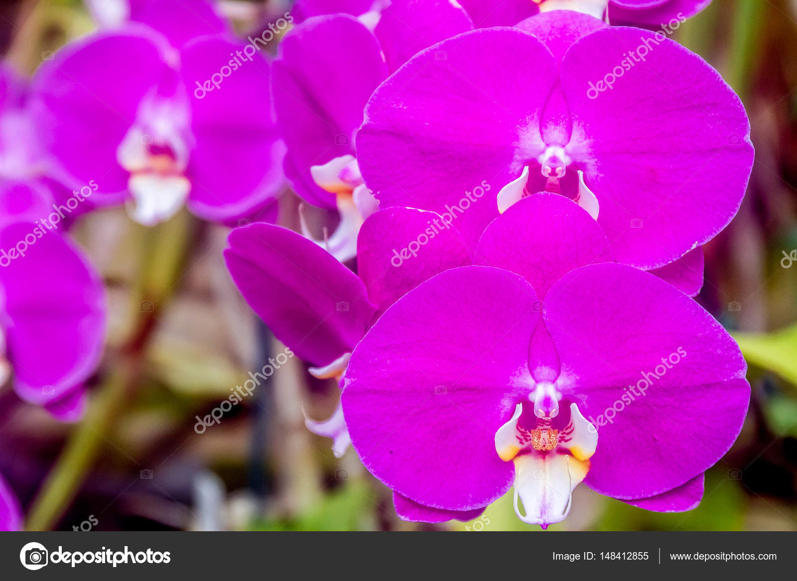 Beautiful orchid flowers stock photo volare2004 148412855 beautiful orchid flowers on natural background photo by volare2004 izmirmasajfo