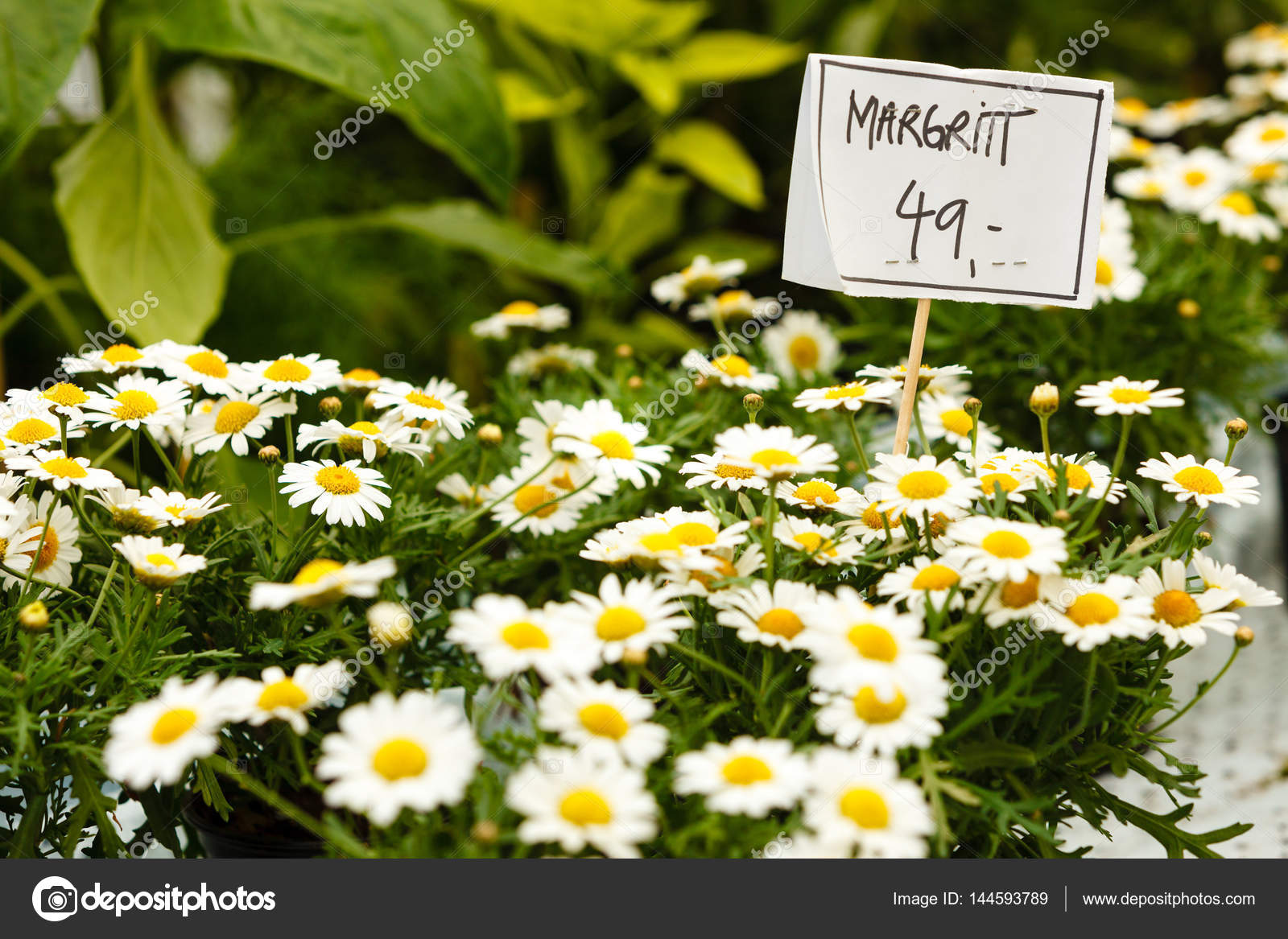 Closeup Of Beautiful White Flowers Daisies Cosmos Stock Photo