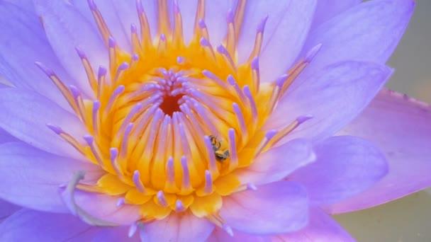 Detailní záběr Malá včela leze po purpurovém lotosovém pylu v kanálu.