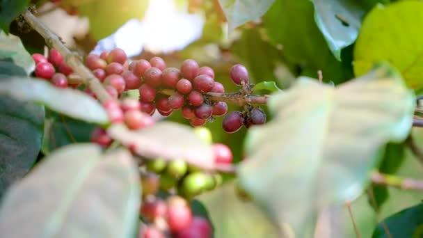 die Kaffeebohnen, die zu reifen beginnen, bis sie am Kaffeebaum rot werden.
