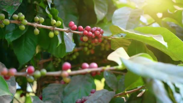 A kávébab, ami pirosra érik a kávéfán.