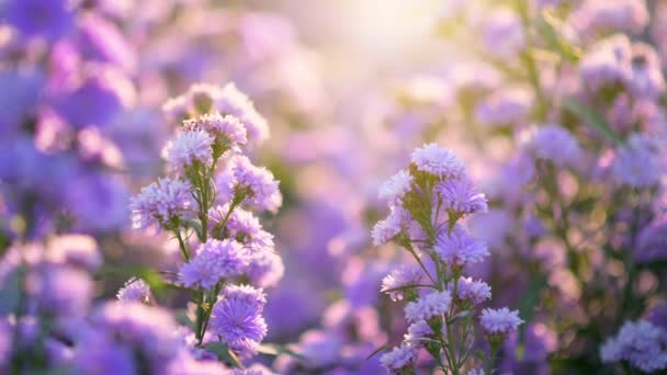 margaret flower purple that shines in the evening