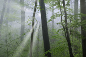 Spring landscape of woods in fog with sunbeams, Kellogg Forest, Michigan, USA
