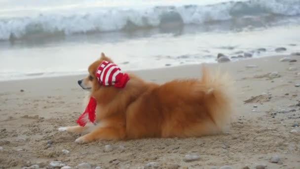 Pomeranian Spitz in Santa hat near the sea