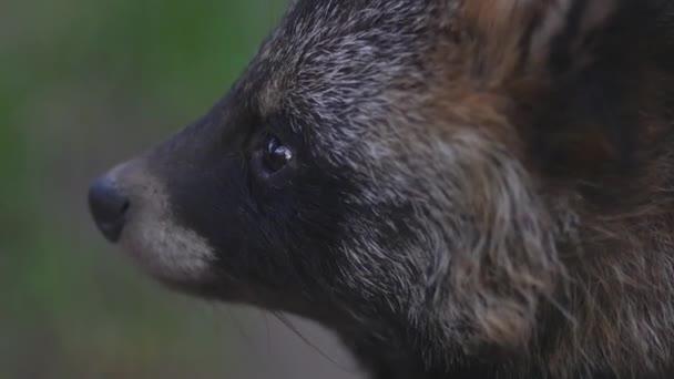 Closeup of raccoon face