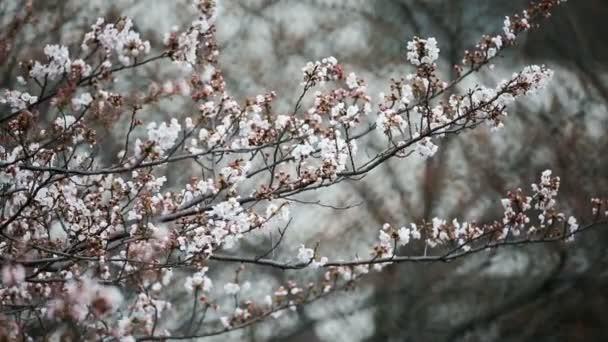 Cseresznyevirág vagy Tokió japán Sakura.