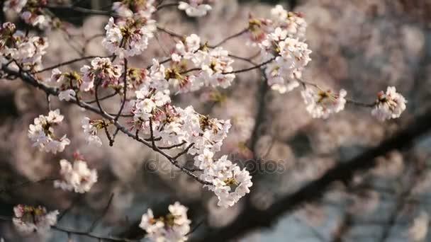 Třešňový květ nebo Sakura v Tokiu.