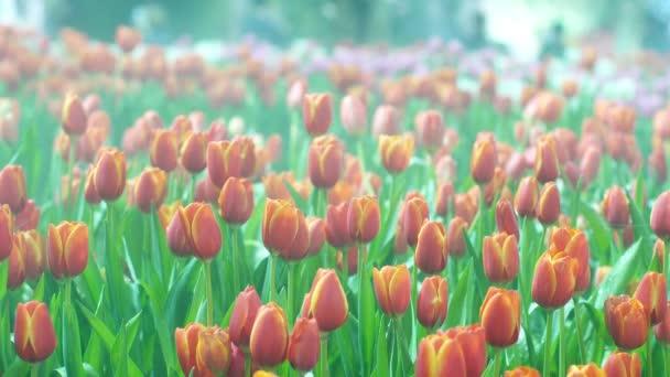 Köd a tulipán mező