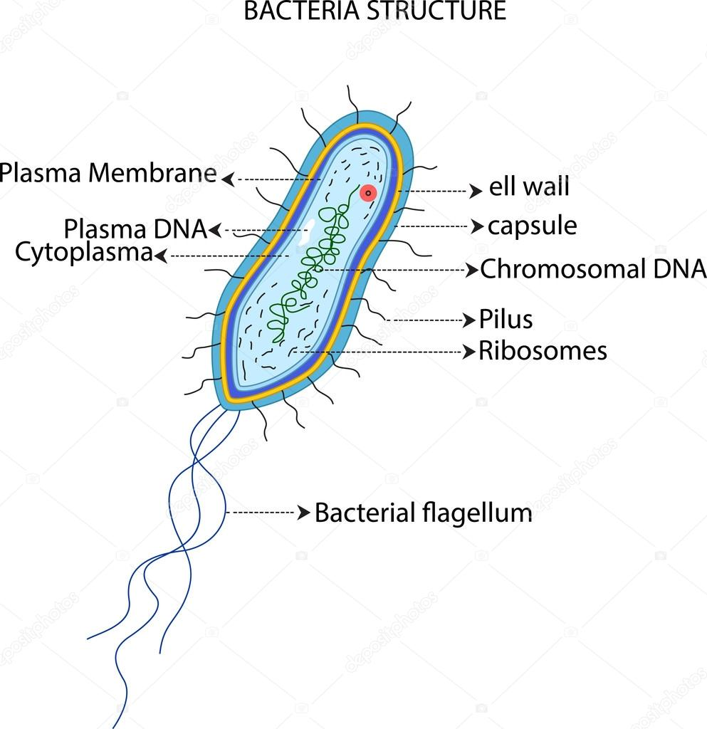 Cell structure of bacteria with diagram - Bacteria Cell Structure Stock Photo 126337030