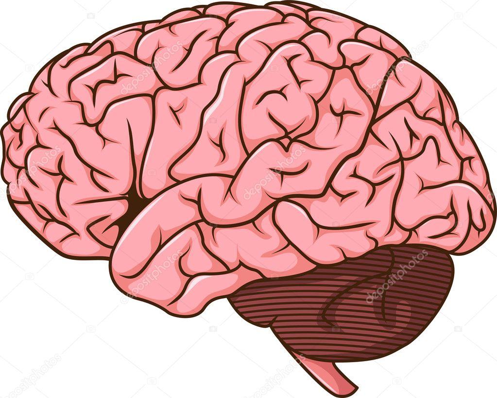 Dibujos Del Cerebro Humano