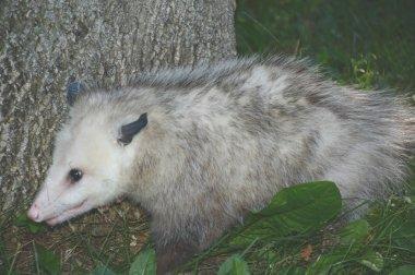 Opossum On The Move