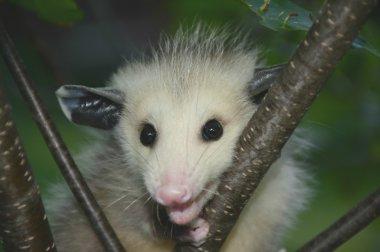 A Baby Opossum Portrait
