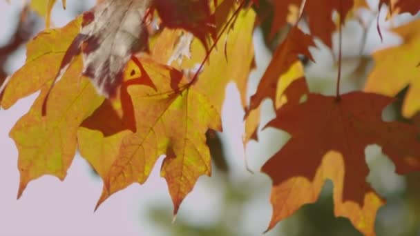 Fall Leaves B Roll 5