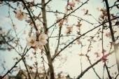 pozadí na jaře bílé Třešňové květy stromu