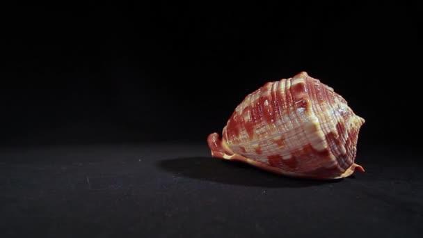 Shell on a Dark Background