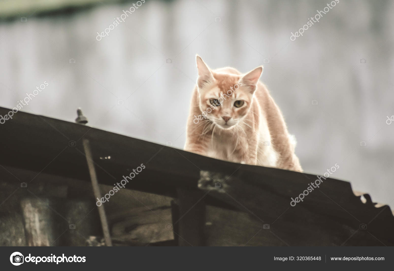 Cute Gold Color Abyssinian Cat Spotted In Hunting Mood On The Roof Of A Residential Building Black Aggressive Cat S Eyes Looking In Attention To Satisfy Its Natural Hunting Instincts Close Up High