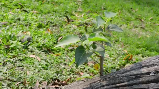 Rostlina rostoucí bez půdy z kořenů banyanského kmene. Zelené listy raší směrem ke slunci kvetoucímu ve slunečním světle. Udržitelný životní styl prostředí živých organismů. Přírodní prostředí. Zavřít.