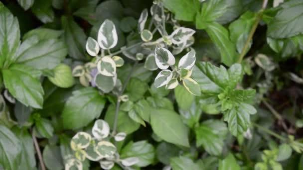 Různorodý keř Dogwood. Pisonia umbelliferata variegate z bíle zelených listů deštníkovníku jedlého Nyctaginaceae. Close-up karikatuur plant, wit en groen blad.