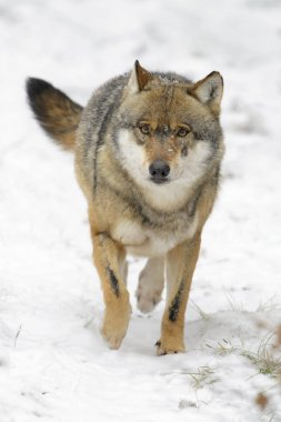 Adult Eurasian wolf (Canis lupus lupus) running towards camera in the snow, Germany
