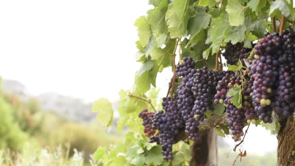 Při západu slunce v podzimní sklizeň vinice. Zralé hrozny v podzimu. Detailní záběr z kytice z červených vinných hroznů na víno v západu slunce