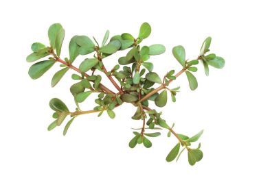 Portulaca oleracea (common purslane, verdolaga, red root, pursley) on white background. It is used as traditional Chinese medical herbal (Ma Chi Xian