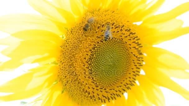 Méhek a napraforgó, a nyár, a mező, a farm