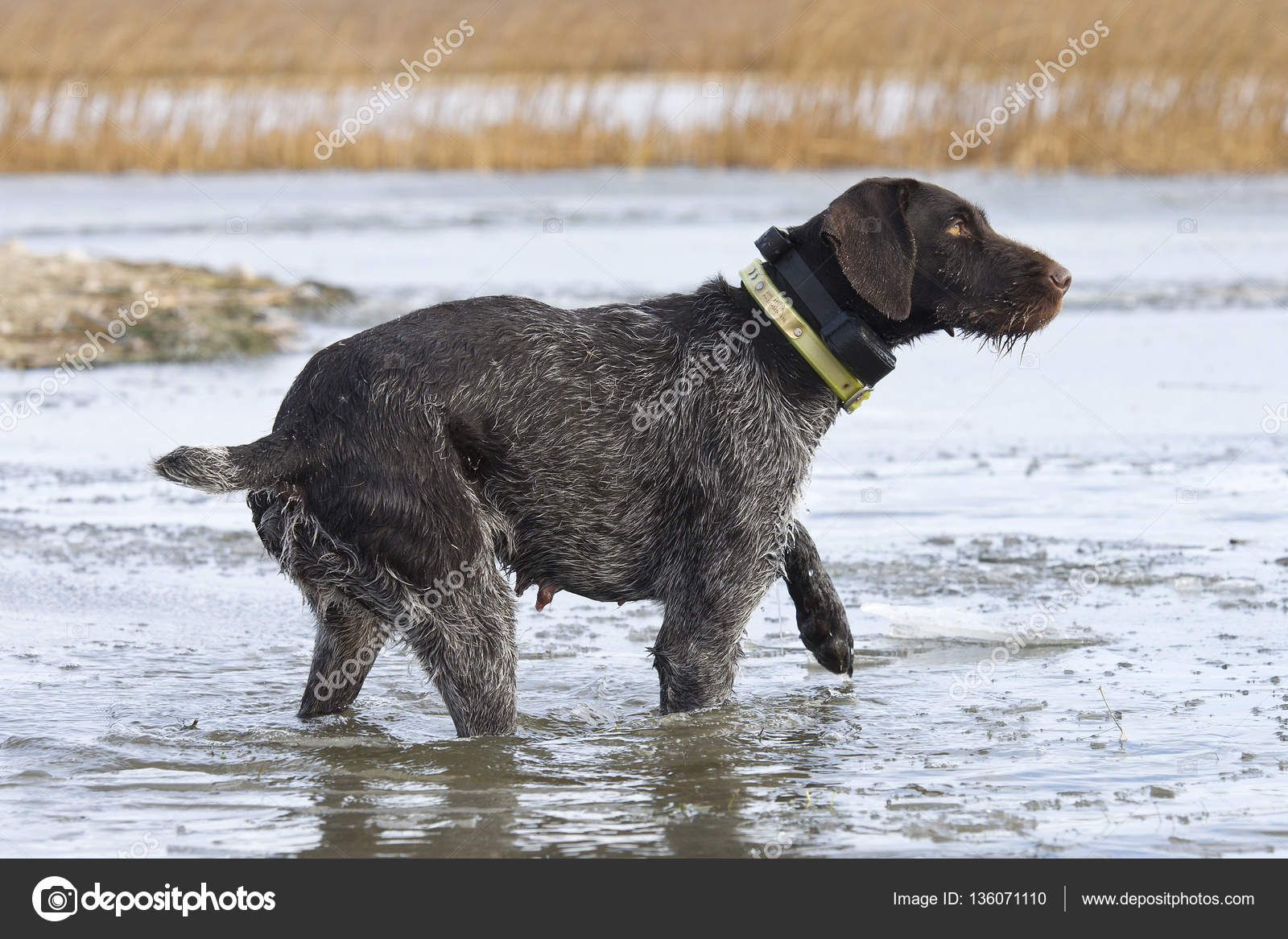 German Wirehaired Pointer Out Duck Hunting — Stock Photo © schlag ...