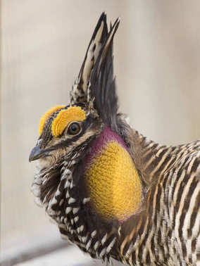 A Booming Greater Prairie Chicken in the spring