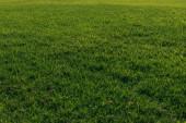 zelená a čerstvá tráva v létě