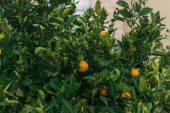 tasty and organic oranges on tree with green leaves