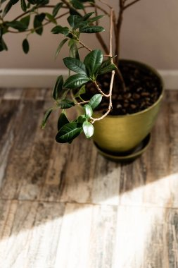 Sunlight near green plant with fresh leaves in flowerpot stock vector