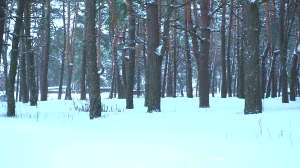 Winter snow forest and white snowdrifts