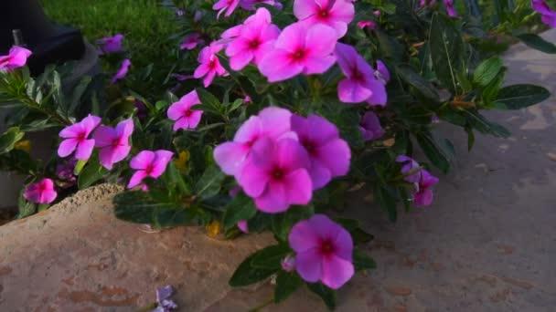 fényes virágzó rózsaszín virágok