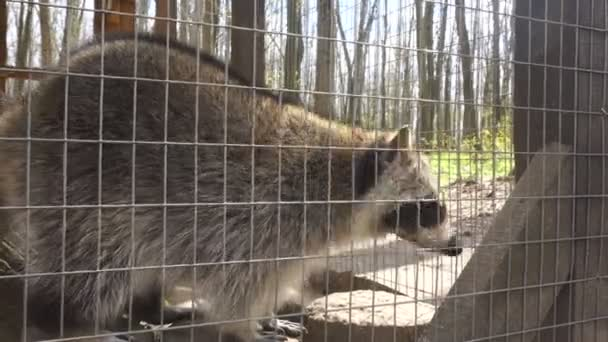 a raccoon walks into the cage of a Zoo