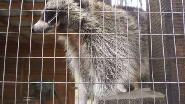 cute raccoon at the Zoo