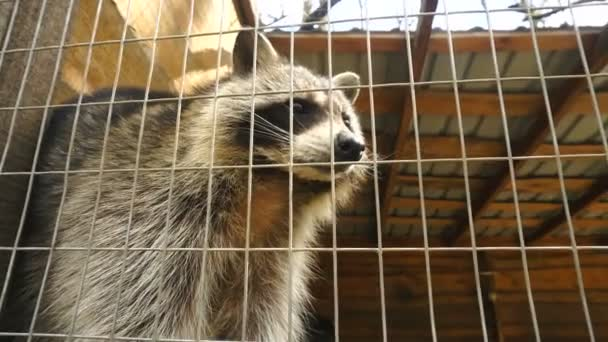 Raccoon in a cage at the Zoo