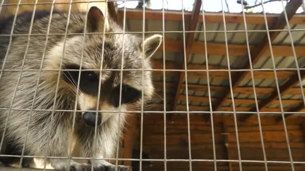 Raccoon outdoors in a cell Zoo