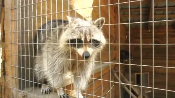 Raccoon in a zoo in Aviary