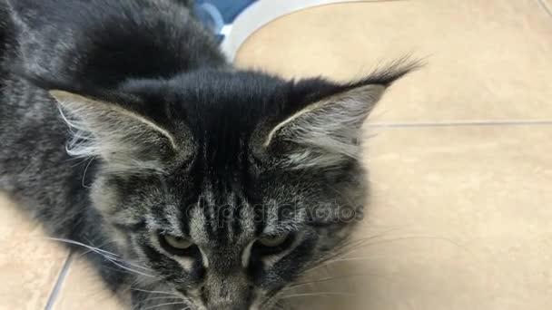 cat Maine Kun