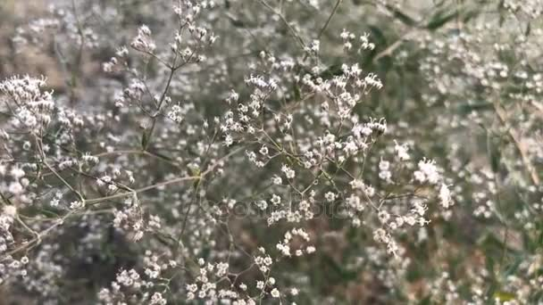 Kleine weiße Blütenstände Bush — Stockvideo © ponomarencko #158842282