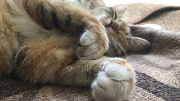 tabby sleeps bending paws