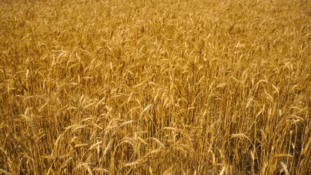 golden wheat field close-up