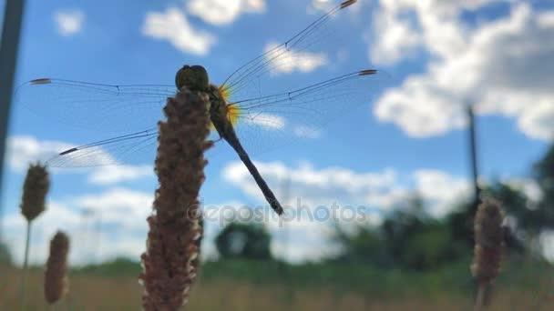 nagy szép szitakötő átlátszó szárnyakkal ül a szél Katica virág