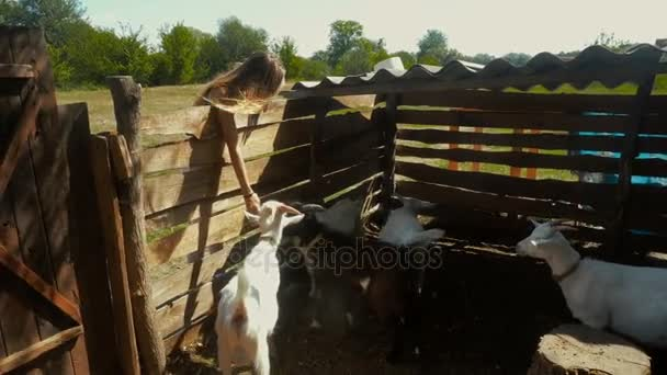 dívka krmí malé bílé kozy