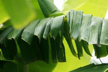 """Картина, постер, плакат, фотообои """"банановые листья на банановом дереве """", артикул 344122822"""