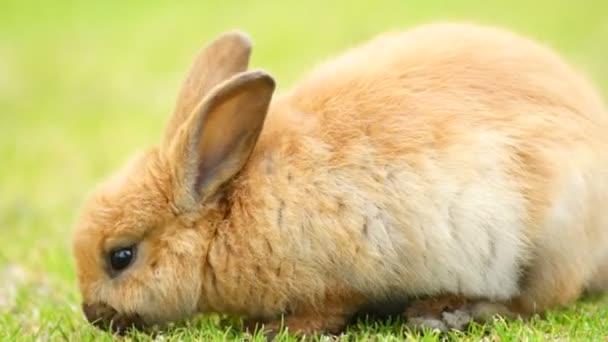Divoký králíček spásání trávy Valdez Alaska zvířat Wildlife