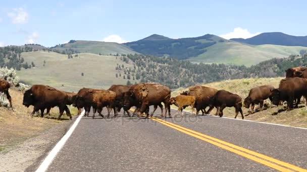 Wildtier-Büffelbullen-Männchen überwachen Straßenüberquerung im Yellowstone-Nationalpark